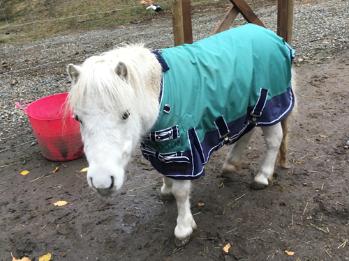 Agi, one of our mini horses, looking proud in her new coat.