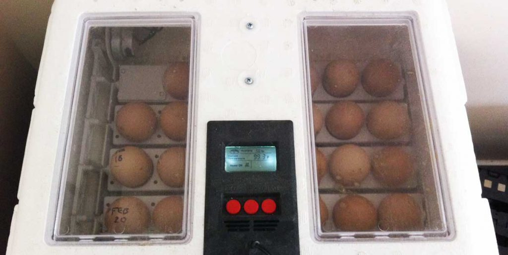 eggs in the incubator