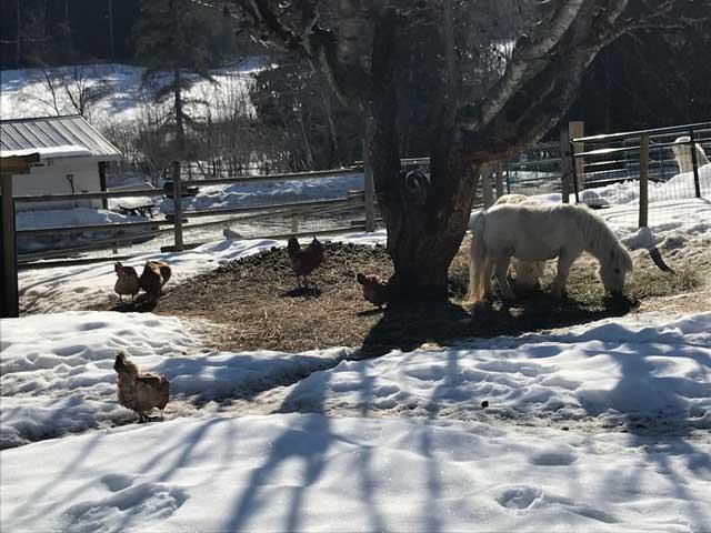 Snow melt in the barn yard.