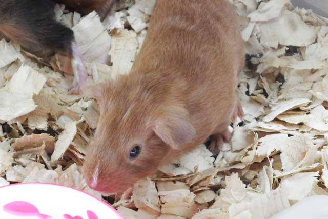 cute 'n' cuddly baby guinea pig for sale