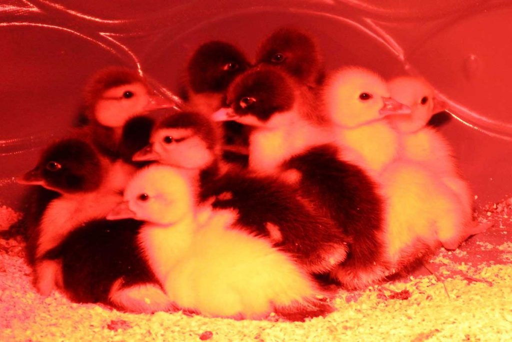 Muscovy ducklings for sale