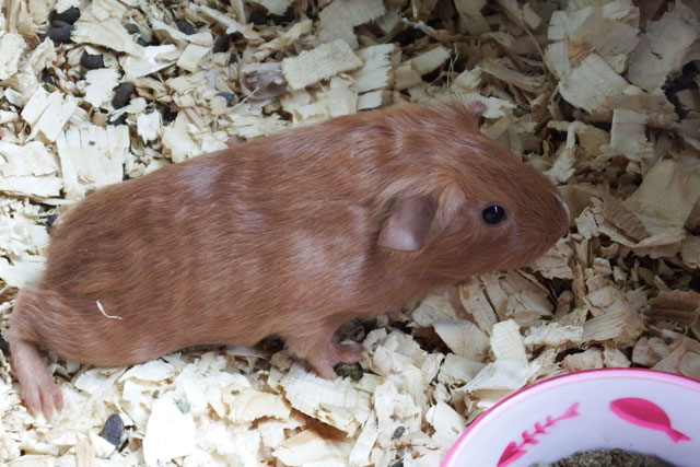 cuddly male guinea pig for sale